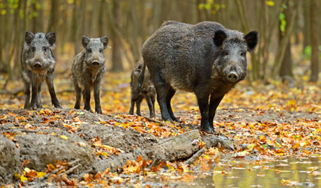 Michael Großmann schnitzt in Rekordzeit aus Baumstämmen Wildschweine
